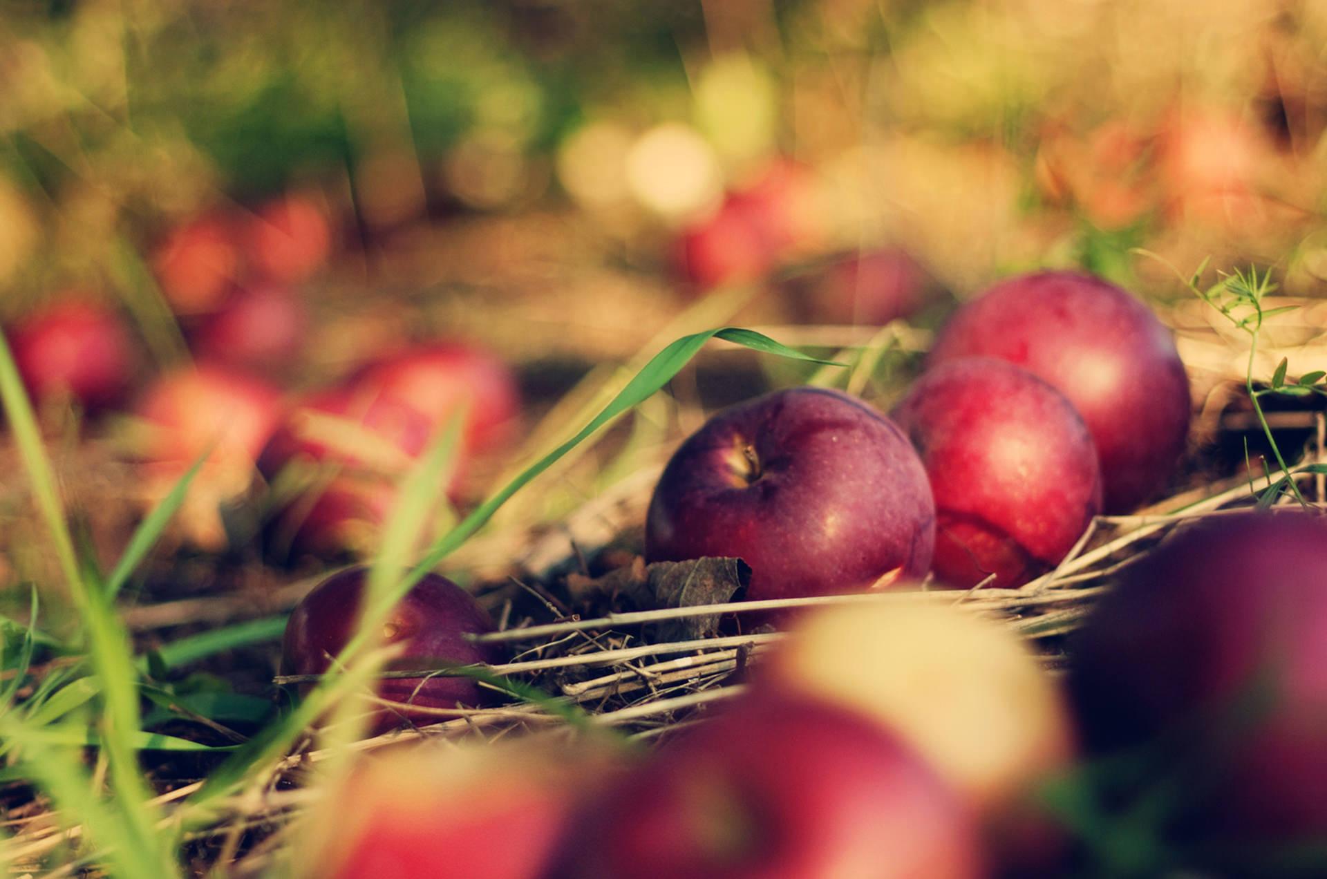 Branje-jabuka-01a