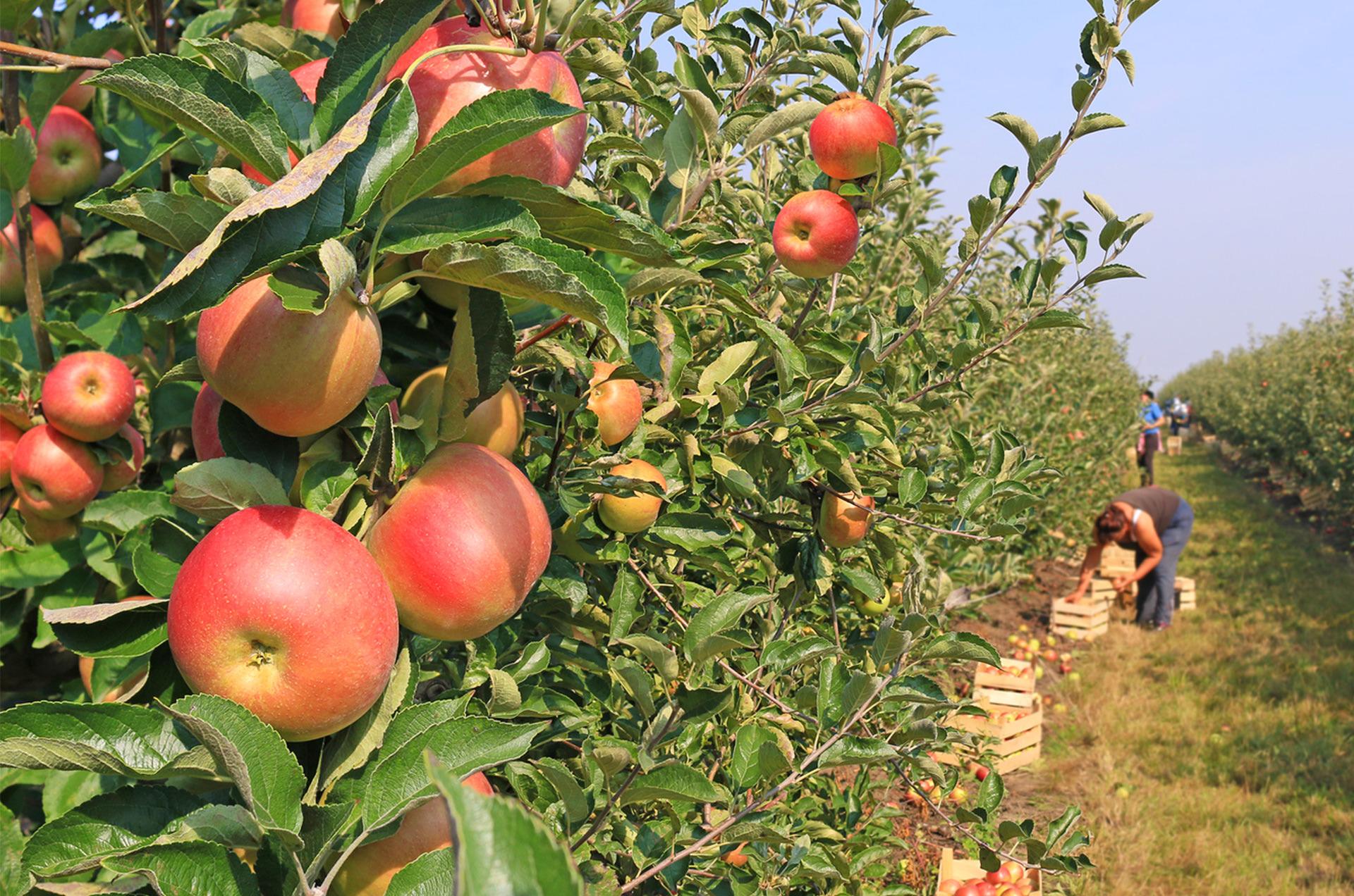 Branje-jabuka-02a